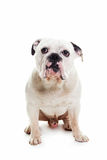 Bull dog sitting, front side Stock Images