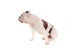 Bull dog sitting in studio watching right Royalty Free Stock Photo