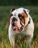 Bull Dog. A bull dog standing in the grass at a park panting Royalty Free Stock Photography