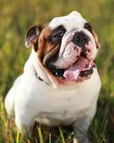 Bull Dog. A bull dog standing in the grass at a park panting Stock Photos