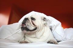 Bull Dog In White Blanket Stock Photography