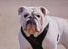 Bull dog Royalty Free Stock Photography