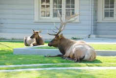 Bull and Dow Elks Resting Stock Photography