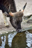 Bull drinking water Stock Photography