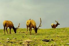 Bull elks grazing Stock Image