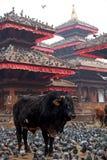 Bull e piccioni Fotografie Stock Libere da Diritti