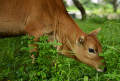 A bull is eating grass Stock Photo