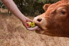 Bull eating hand fed apple with long tongue Royalty Free Stock Image