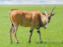 Bull of the eland antelope in steppe Royalty Free Stock Image