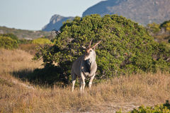 Bull Eland grazing in the Bush of South Africa. Adult male Eland grounds nature reserve at the Cape of Good Hope. The largest antelope of Africa. Bull Eland Stock Photo