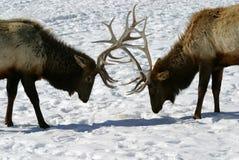 Bull-Elch-Kampf Stockfotos