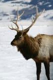 Bull-Elch-Winter Stockbild