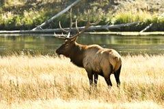 Bull-Elche Stockfoto