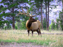 Bull-Elche Lizenzfreies Stockfoto