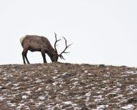 Bull-Elche Stockbilder