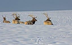 Bull-Elche auf Snowy Ridge Lizenzfreies Stockbild