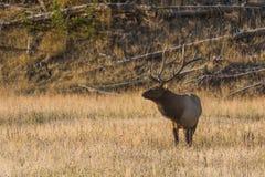 Bull-Elche Bugling in der Wiese Lizenzfreie Stockfotos