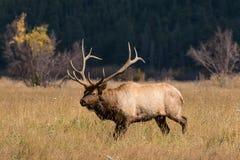 Bull-Elche in der Furche Stockbilder