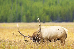 Bull-Elche in der Furche Lizenzfreie Stockbilder