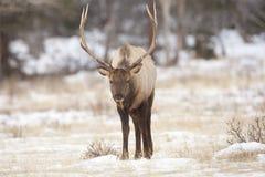 Bull-Elche im Winter Lizenzfreie Stockbilder