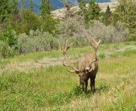 Bull-Elche mit großer Zahnstange Stockfotografie
