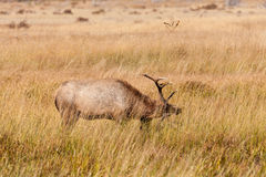 Bull-Elche Rutting Stockfotos