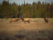 Bull-Elche und Kühe Stockfotografie