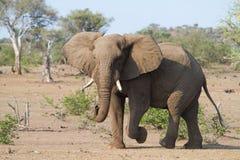 Bull-Elefant lizenzfreies stockfoto