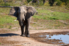 Bull elefant. At a water hole in the Chobe Nationalpark Royalty Free Stock Photography