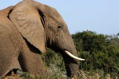 Bull-Elefantgehen Stockfoto