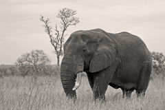 Bull elephant Royalty Free Stock Photography