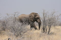 Bull elephant Royalty Free Stock Images
