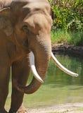Bull Elephant Stock Image