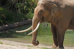 Free Bull Elephant Stock Images - 32521424
