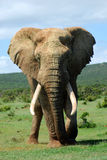 bull elephant Royaltyfri Fotografi