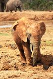 Bull elephant all muddy Royalty Free Stock Photography