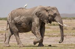 Bull Elephant in Amboseli, Kenya. One Bull Elephant in Amboseli, Kenya Stock Photos