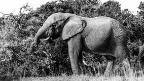 The Bull - Elephant B&W. Image shot at The Addo Elephant National Park stock photos