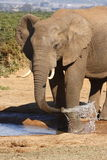 Bull elephant drinking Royalty Free Stock Photo
