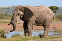 Bull Elephant drinking water Stock Images