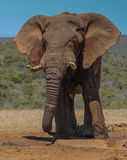 Bull elephant. Stock Photo
