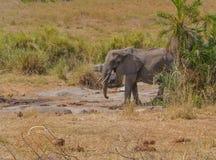 African bull elephant in desert. Stock Photo