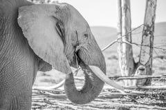 Bull elephant eating Royalty Free Stock Photos