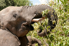Bull elephant feeding. On a Mopani trees leaves Stock Photo