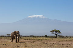 Bull Elephant with Kilimanjaro in background, Amboseli, Kenya Stock Image