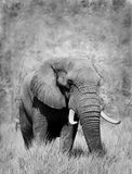 Bull Elephant with large tusks. Artistic Black and White Image of an African Elephant Stock Images