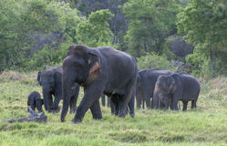 A bull elephant leads a group of elephants out of bushland in Minneriya National Park. royalty free stock photos