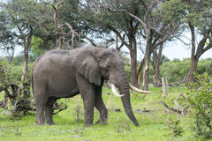 A Bull elephant with massive tusks Royalty Free Stock Photo