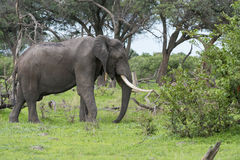A Bull elephant with massive tusks Stock Photos