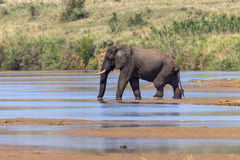Bull Elephant River Middle Royalty Free Stock Image